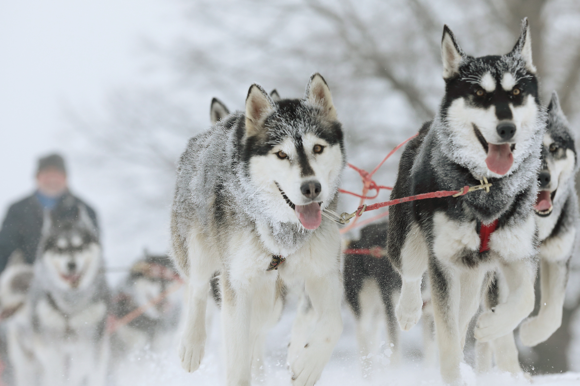 Sled dogs pulling together