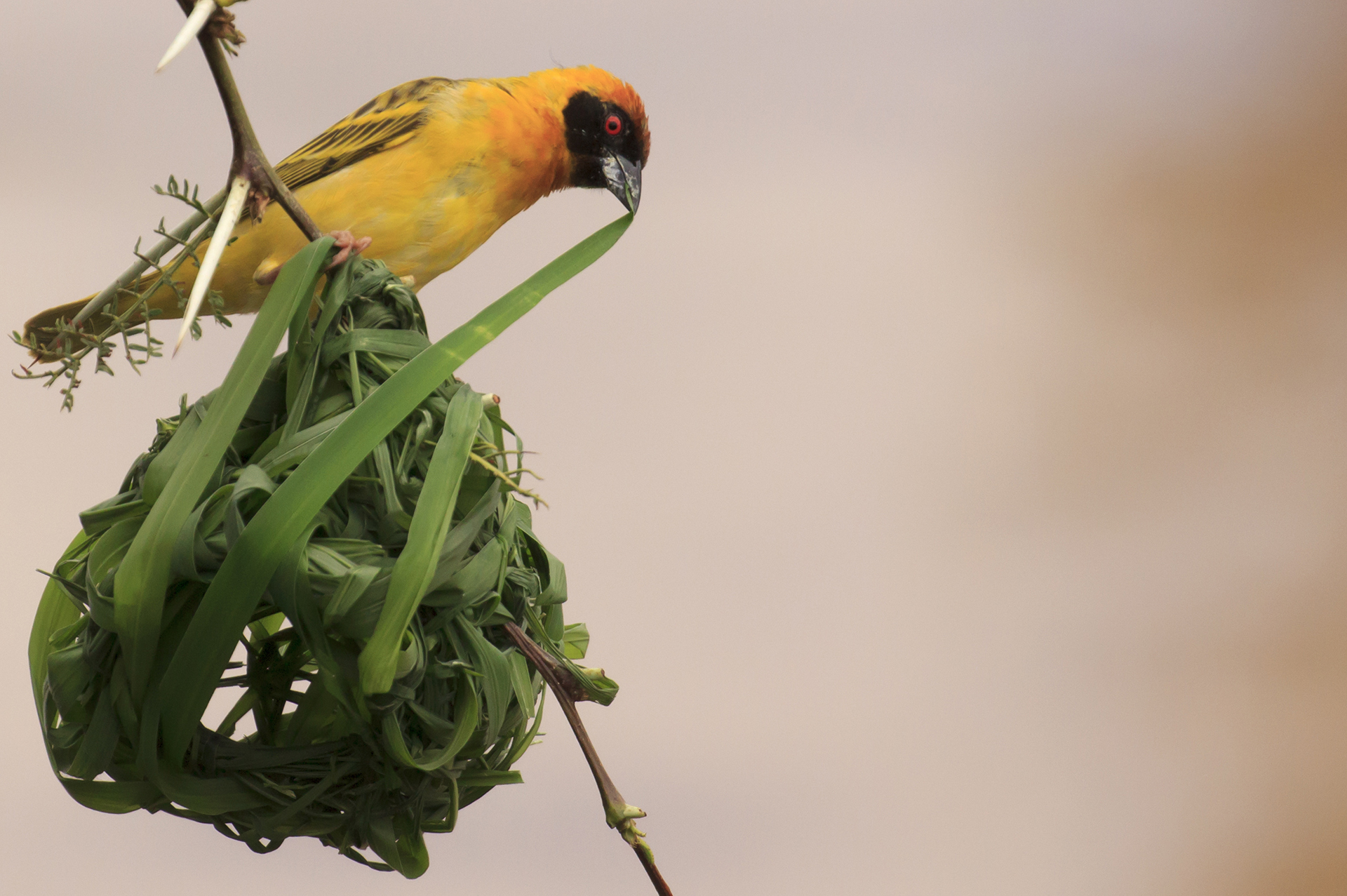 Vitelline Masked Weaver bird nest